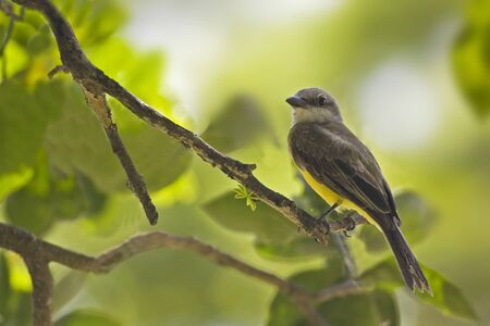 A Tropical Kingbird, Tyrannus melancholicus, perched in tree