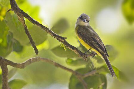 A Tropical Kingbird, Tyrannus melancholicus, perched on branch