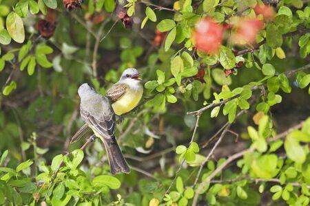 A Pair of Tropical Kingbirds, Tyrannus melancholicus