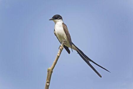 A Fork-tailed Flycatcher, Tyrannus savana, perched on branch