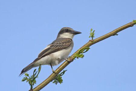 A Gray Kingbird, Tyrannus dominicensis, perched on branch Stock fotó
