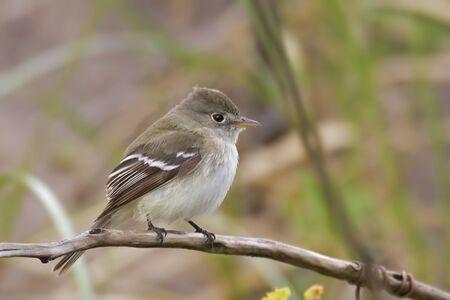 Least Flycatcher, Empidonax minimus, perched on branch