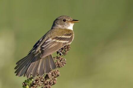 A Willow Flycatcher, Empidonax traillii, close up Stock fotó