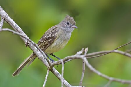 A Yellow-bellied Elania, Elaenia flavogaster, perched in tree
