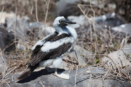 A Juvenile Blue-Footed Booby, Sula nebouxii, from the Galapagos Islands