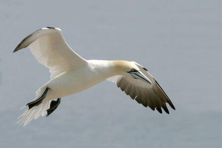 A Northern Gannet, Sula leucogaster, close up in flight