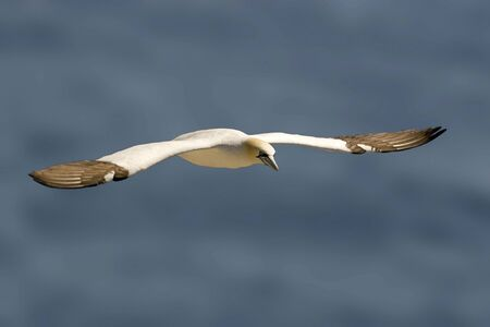A Northern Gannet, Sula leucogaster, gliding in flight