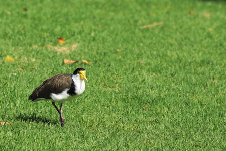 A Masked Lapwing, Vanellus miles, on grass Stok Fotoğraf