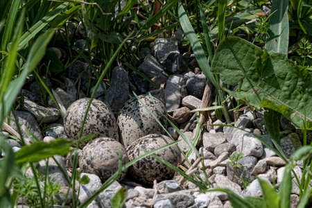 A Killdeer, Charadrius vociferus, view of nest with eggs