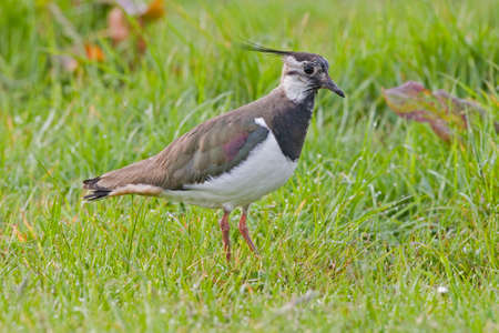 A Northern Lapwing, Vanellus vanellus, in field