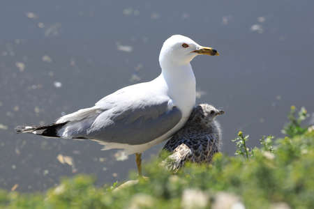 An adult Ring-billed Gull, Larus delawarensis, sheltering young from sun