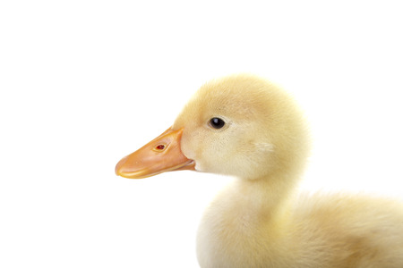Cute baby duckling is posing to camera on isolated white background.
