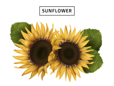 sunflower realistic illustration with green leaves, isolated white background, 3d illustration