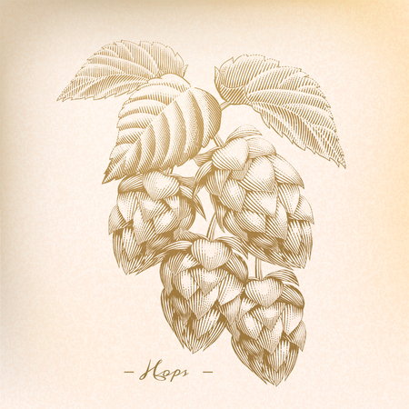 Retro hops in engraving style, beige tone Illustration