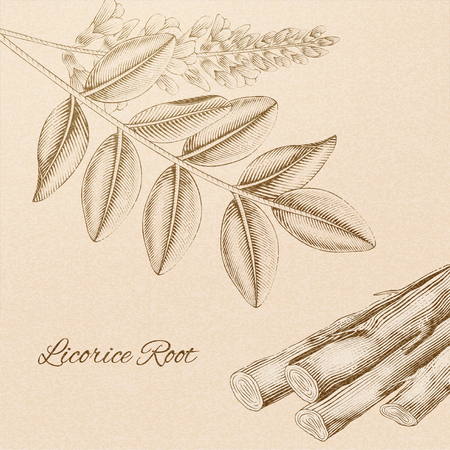 Licorice root in engraved retro style on beige Vectores