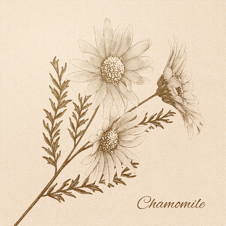 Chamomile in engraved retro style on beige