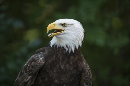 usps: Eagle Close Up Stock Photo