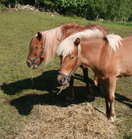 grassing: Two horses grassing Stock Photo