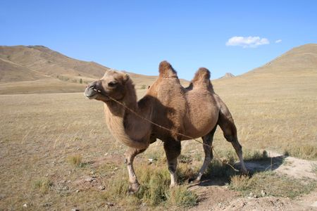 hardy: Camel in the steps of Mongolia Stock Photo