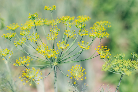 Anethum graveolens Linn.,Blooming dill garden or smelly Lat. Anethum graveolens  Stock Photo