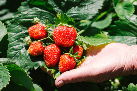old hands picked fresh strawberries Stock Photo