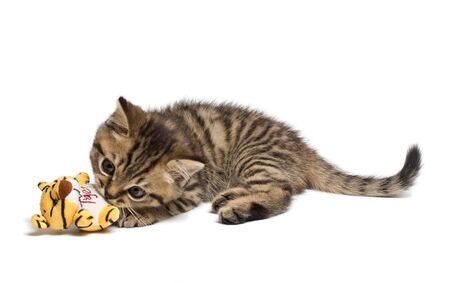 tiger cat kitten, breed scottish straight, playing over white background. Stock fotó