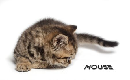 the kitten sits on the white floor and sniffs the mouse. Scottish cat. Isolated