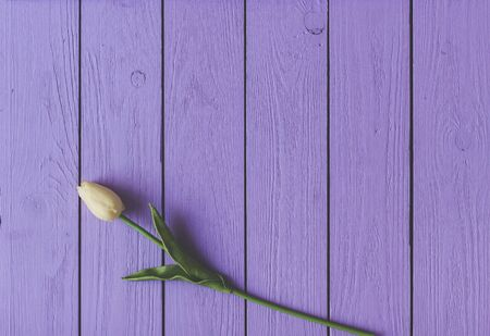 Spring tulip flower on wooden background. Tulip, gardening concept.