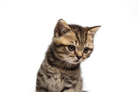 Young sad british cat isolated on white background Stock fotó