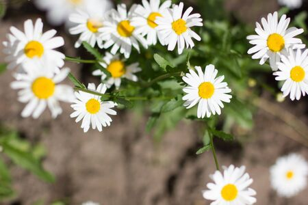 White chamomile and chrysanthemum in the garden. Stock fotó
