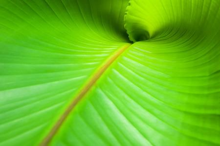 musa: A new leaf of Musa Basjoo. Stock Photo