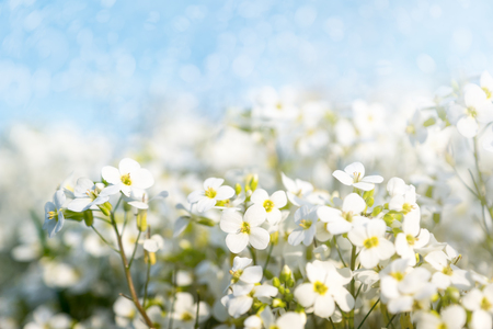 narrow depth of field: White flowers in springtime with soft focus and blue sky. selected focus, narrow depth of field