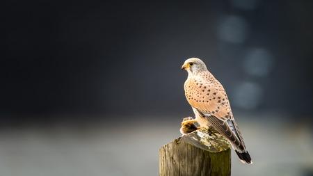 Turmfalke Falco tinnunculus, männlich, sitzend mit Maus auf Pfahl