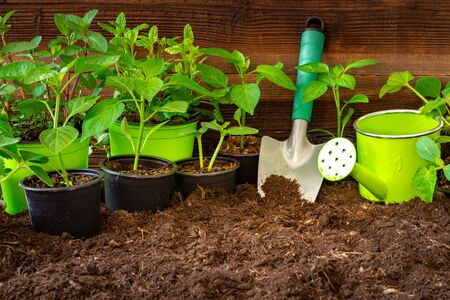 Gardening tools,lavender, rosmary, strawberry plants and seedlings on soil. Imagens
