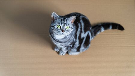 British shorthair cat sitting in paper box - top view