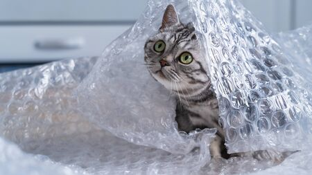 British shorthair silver tabby cat playing with  wrap