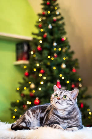 British short hair cat silver tabby sitting in front of christmas treee