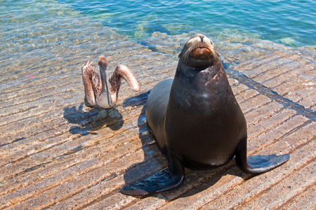 Sea Lion and Pelican on the marina boat launch in Cabo San Lucas Mexico BCS