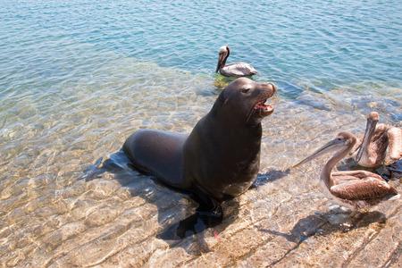 카보 산 루카스 멕시코 선착장에서 바다 사자와 Pelicans 발사