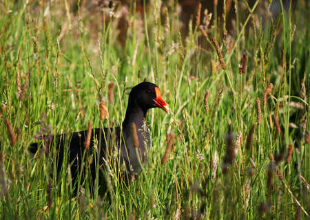 purple swamphen: Purple Swamphen walking in the grass