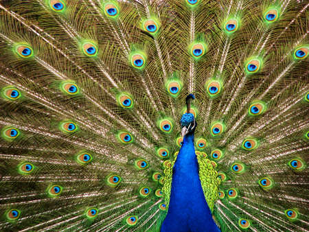 animal mating: Blue peacock showing his beautiful fan tail