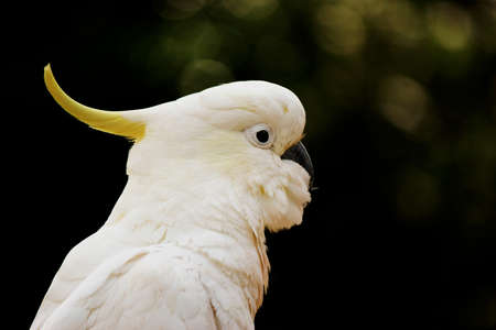 White Cockatoo Portrait photo