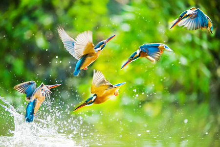 water birds: Kingfisher Stock Photo