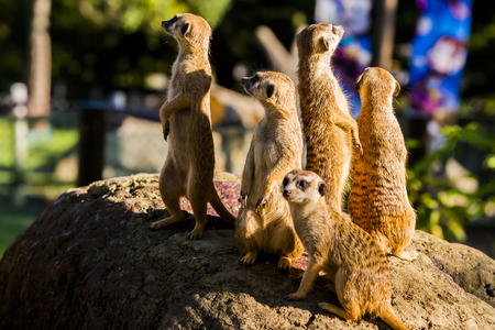 erdmaennchen: Suricate or meerkat (Suricata suricatta) family Earth males looking for enemies look in all directions Erdmännchen