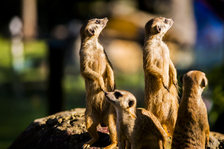 suricata: Suricate or meerkat (Suricata suricatta) family Earth males looking for enemies look in all directions Erdmännchen