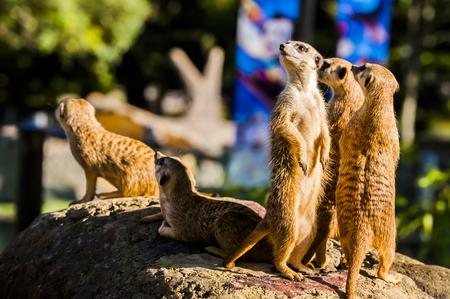 Suricate or meerkat (Suricata suricatta) family Earth males looking for enemies look in all directions Erdmännchen