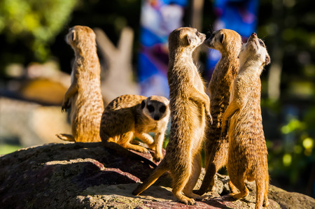 Suricate or meerkat (Suricata suricatta) family Earth males looking for enemies look in all directions Erdmännchen