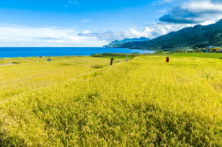 Paddy terrace farm near the sea under blue sky, shot at Xinshe, Fengbin Township, Hualien County, Taiwan, Asia.