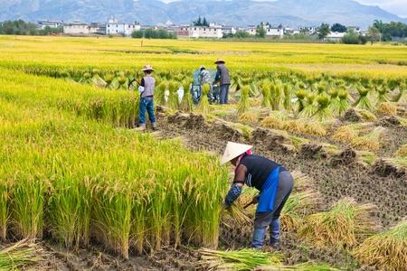unidentified: Campesino chino no identificado trabaja en una China de arroz field.Dali
