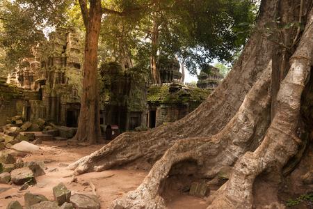 siem: Ta prohm old tree, siem reap, Cambodia